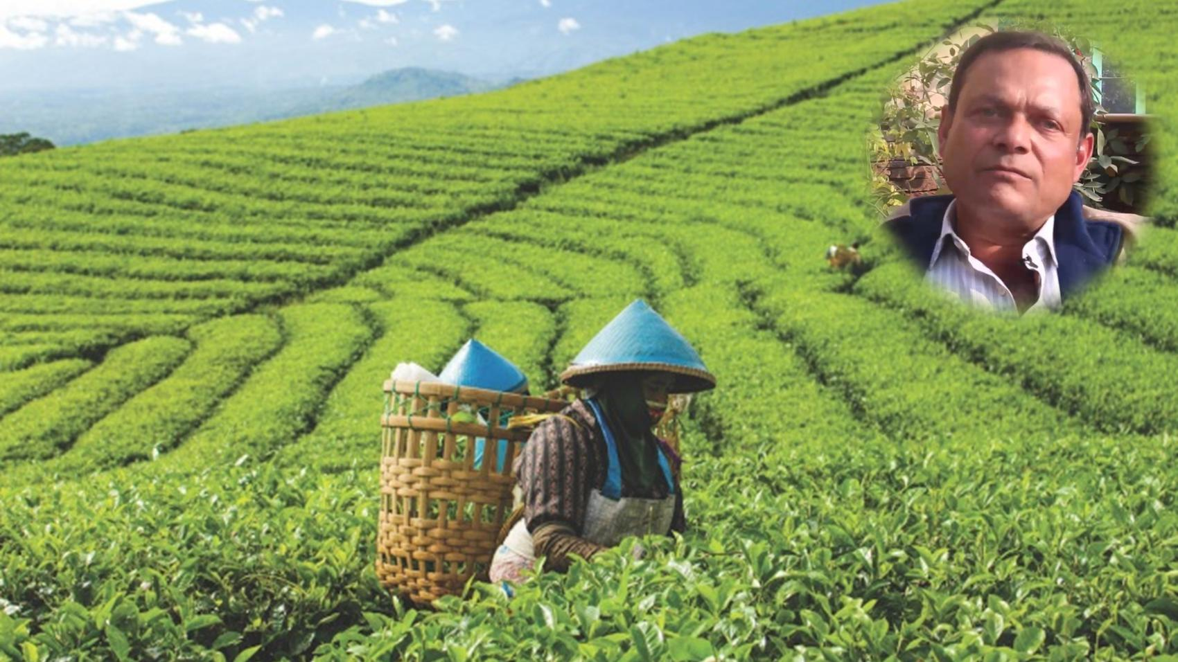 Career in Tea Plantation